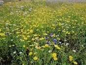 Flower Meadow in The Byes