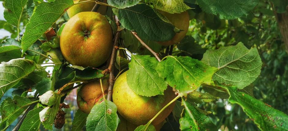 Bijna tijd voor de appelpuk, voordat ze van de bomen waaien