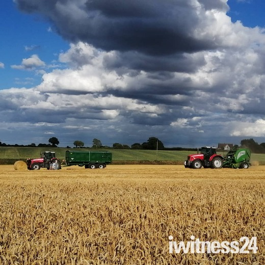 Harvesting the spring wheat