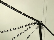 Social distancing at the starlings roost Spixworth 29/08/20