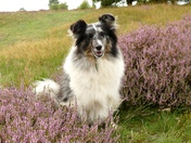 Purple haze of heather on Cavenham Heath.