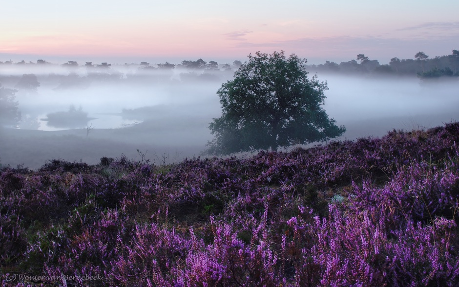 Bloeiende heide met mist