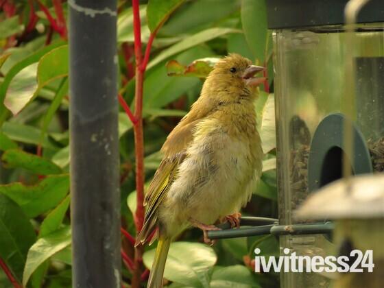 Greenfinch Juvenile