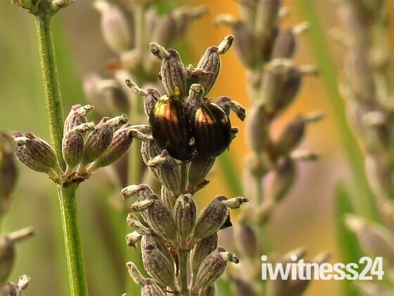 Rosemary Beetles