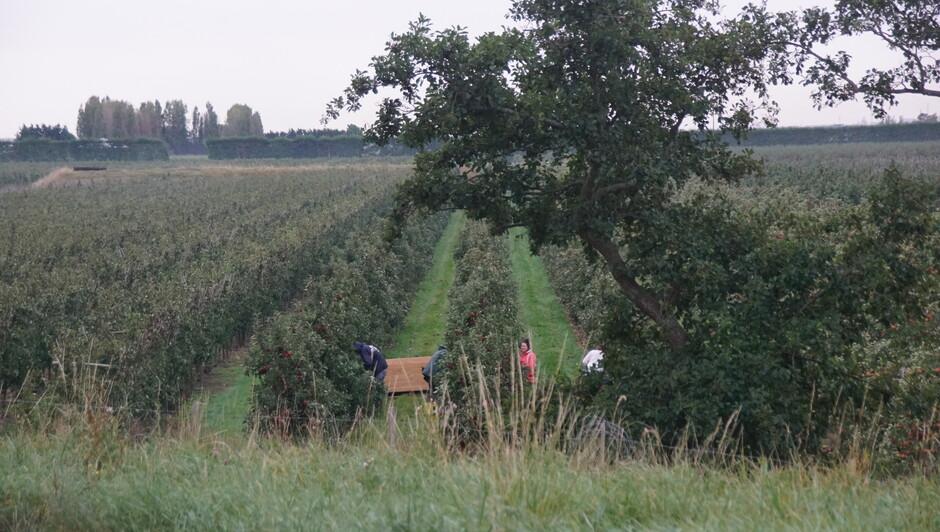 grijs en bewolkt 12 gr appelen plukken in de boomgaard 07.35 uur