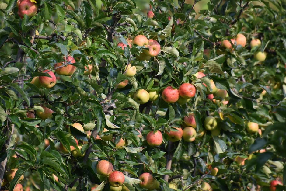 Volop appels