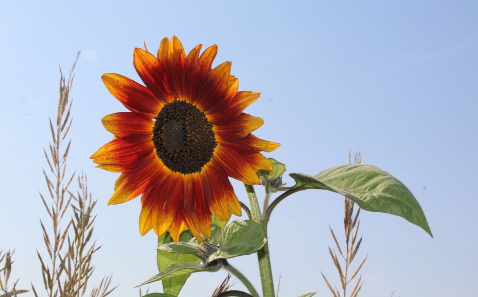 Rood-gele zonnebloem