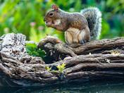 Grey squirrel  in my garden