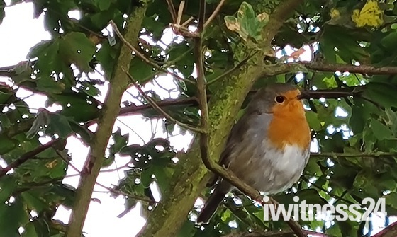 Robin serenade