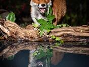 Happy Fox!