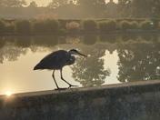Eaton Parks Resident Heron