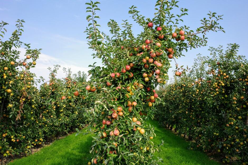 Overvolle appelbomen in de fruitpluktijd