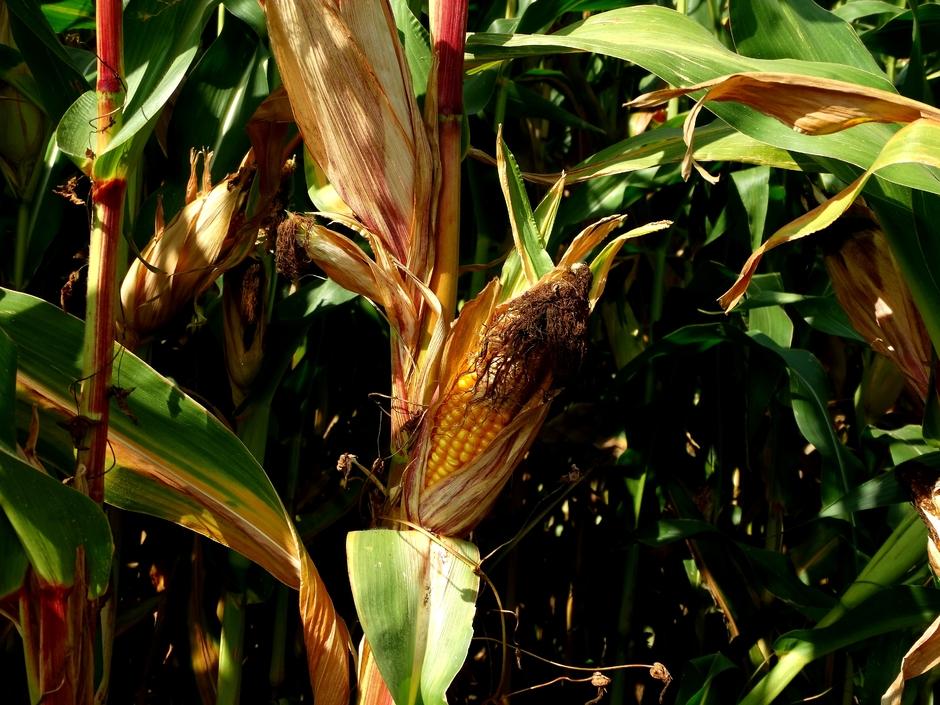 Maïs in het zonnetje