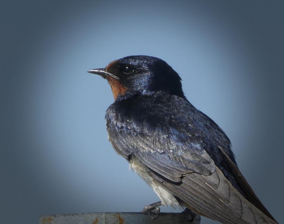 Afscheid van een mooie vogel: de boerenzwaluw