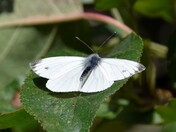 Dragonfly's and White Butterfly