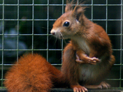 Red Squirrel at Wildwoods, Escot.