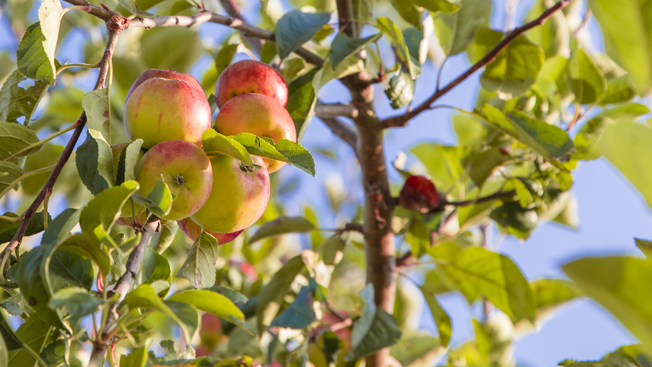 Prachtige Appel bomen in Roggel limburg 25 graden