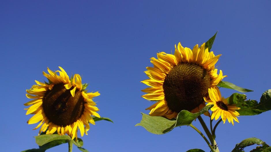 volop zon en strak blauwe lucht 14 gr 10.00 uur windstil zonnebloemen
