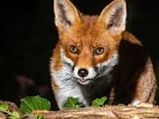Fox in my garden