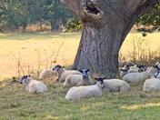 Sheep at Benacre