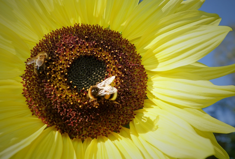Vanmorgen in de zon aan het werk op de nog laat aanwezige Zonnebloemen