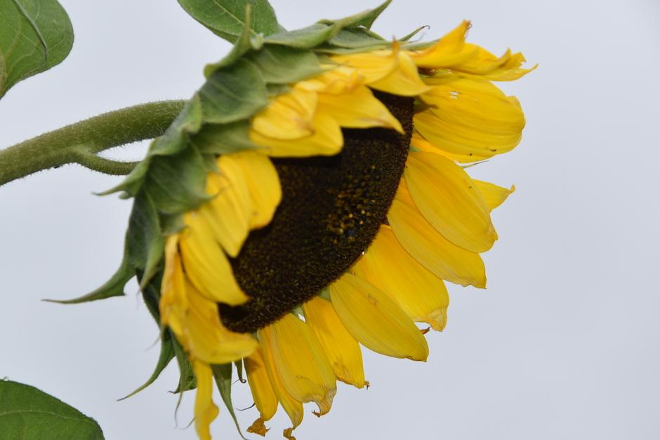 Zonnebloem laat zijn kopje hangen vandaag