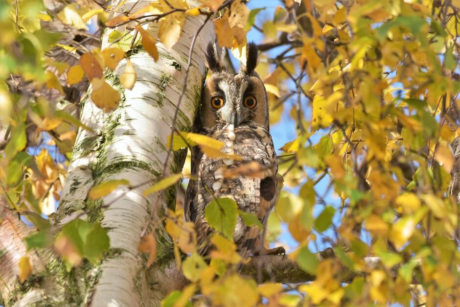 Ransuil verscholen tussen de verkleurde bladeren.
