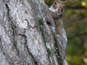 Fifty Shades of Grey (Squirrel)