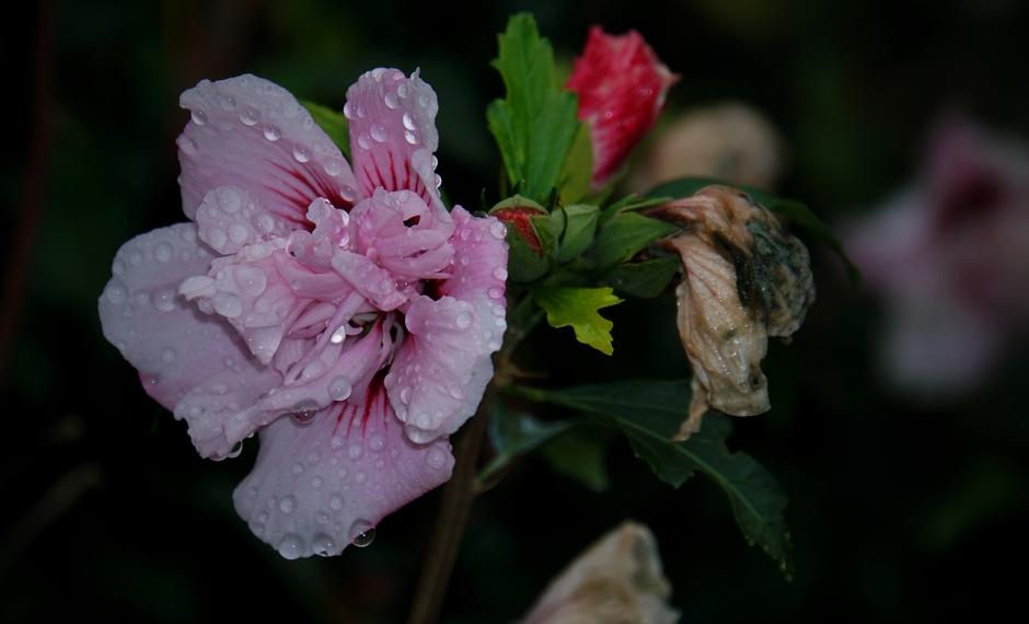 Beregende Hibiscus vanmorgen. Inmiddels droog en wat zon