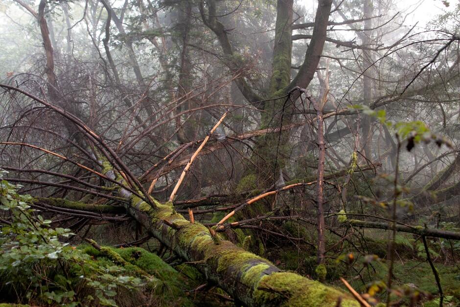 Nevel in het bos