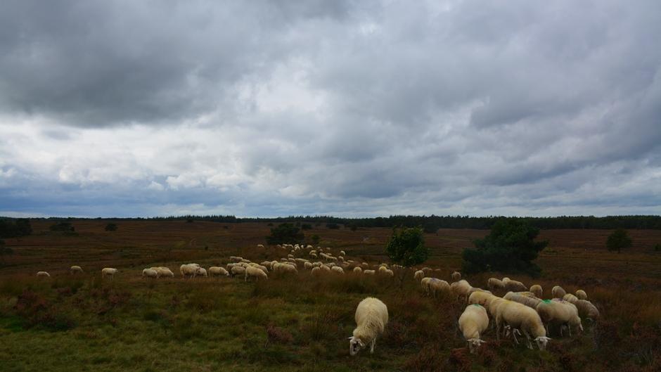 Grazende schapen op de heide