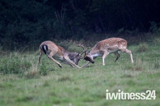Deer rutt in Dagnam Park ( The Manor ).