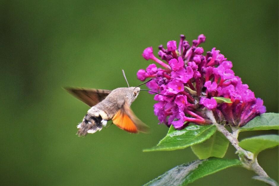 Je verwacht het misschien niet met dit weer,  maar ik had vanmiddag toch echt even bezoek van de kolibrievlinder in de tuin.