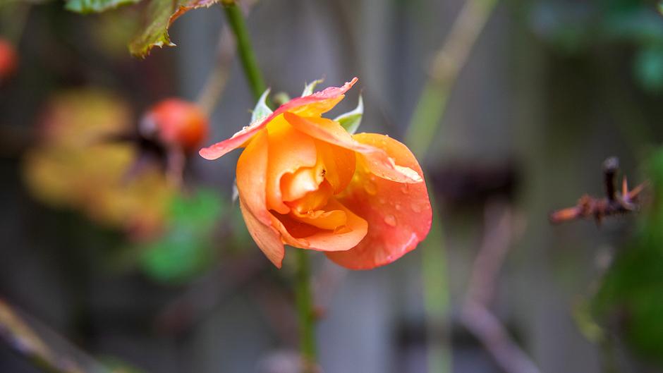 Roos in het najaar