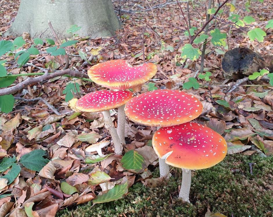 Volop paddenstoelen op Texel