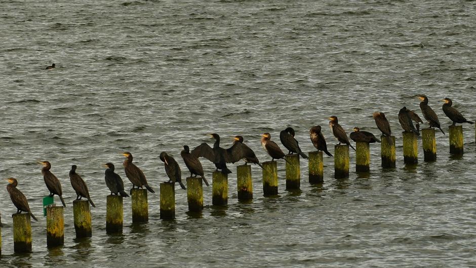 Aalscholvers op een rij