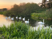 Family of swans on the River Bure, near Buxton