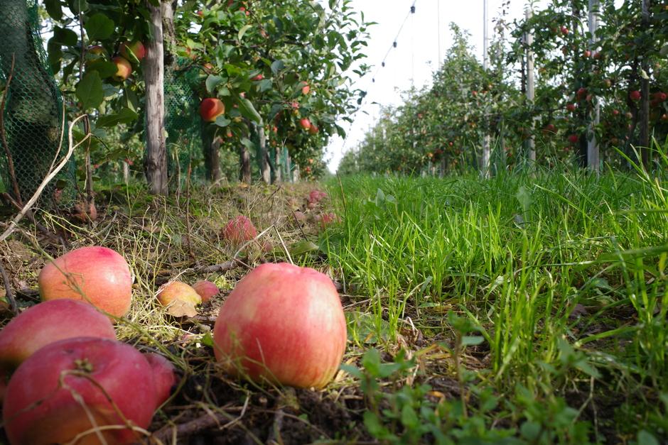 Appels gereed om te plukken