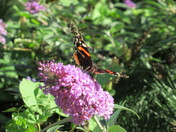Red Admiral on the purple flowering buddlea