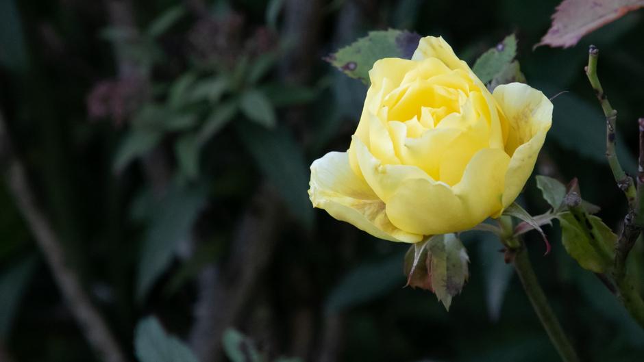 de laatste roos?