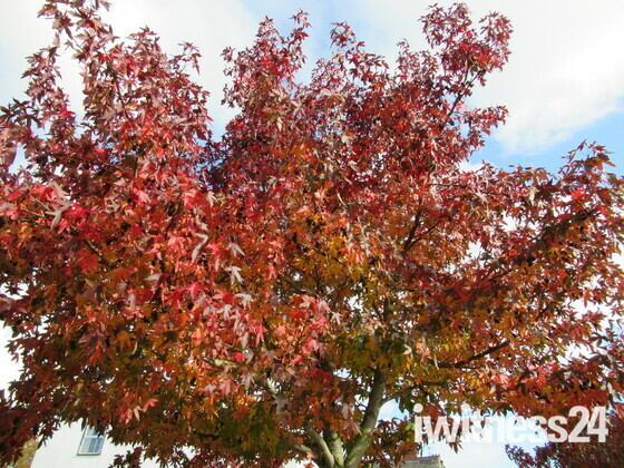 It's that time of year again... Red leaves on the tree