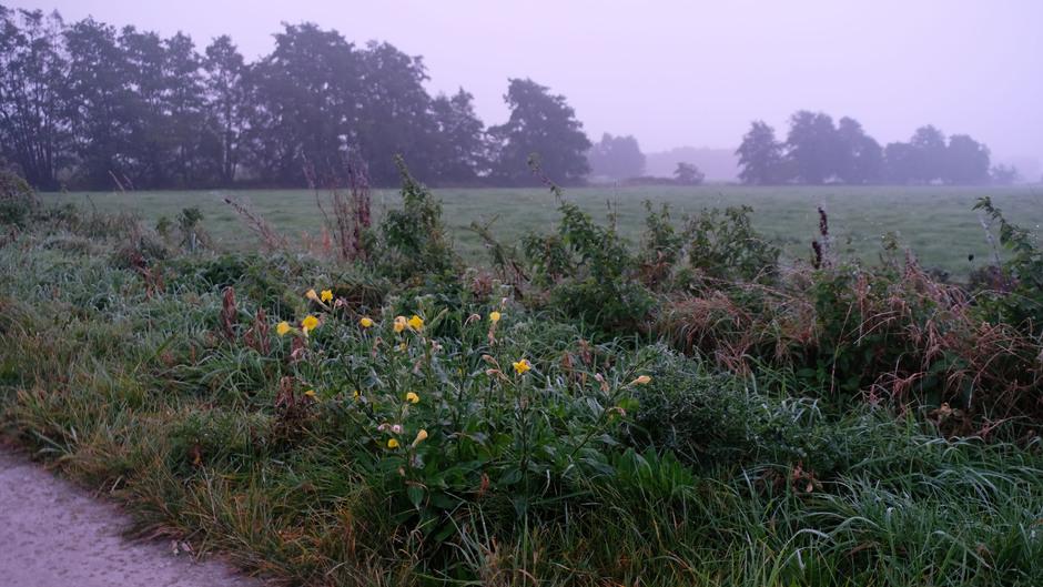 Bedauwde Teunisbloemen in de ochtendnevel