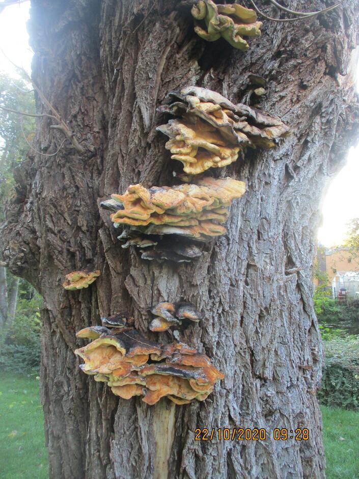 Mega mooie zwammen op de oude boom