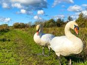 Swans enjoying the sun at Thorpe Marshes.