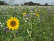 Flower field at Mutford
