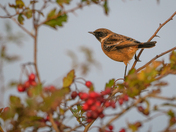 Stonechat in the berries