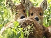 Beautiful deer looking for a mate