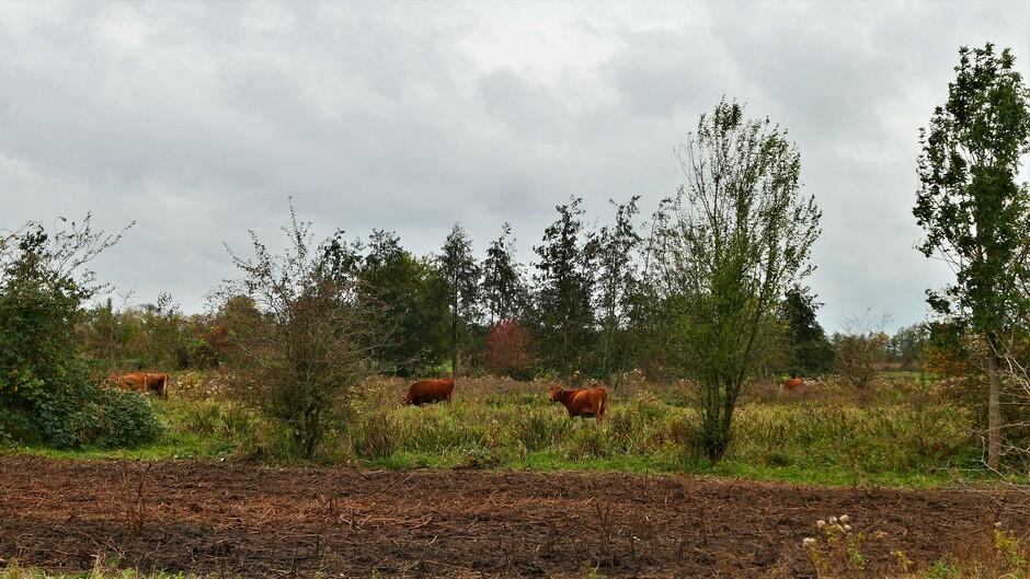 Rode Runderen in Polder Achthoven
