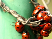 A Bloom of Lady Birds.