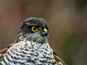 Sparrowhawk on the lookout.